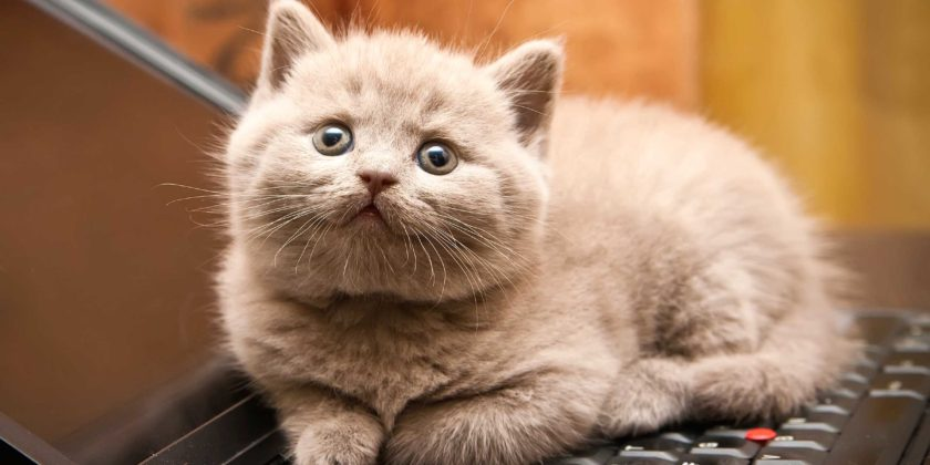 Adoption And Delivery Procedure of Siamese Cats in USA and Canada