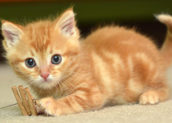 The Best Qualities About Siamese Kittens